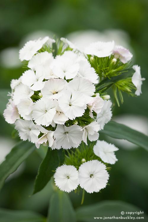 Breanthus 'Duke' - annual Sweet William. syn. Dianthus