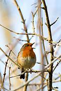 Robin, Erithacus rubecula; Sussex, garden bird, garden wildlife; songbird; singing; frost, singing in frosty branches,