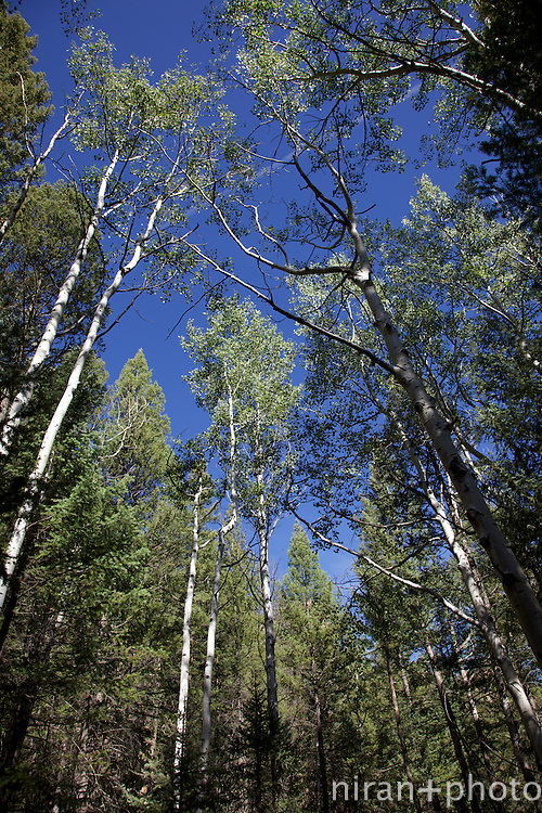 Aspen Canopy on Goose Creek Trail in the Lost W