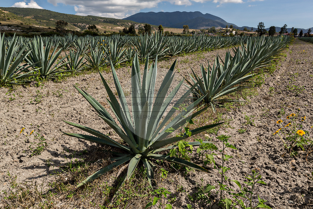 Blue agave plants growing in a field November 5, 2014 in Matatlan, Mexico. The plants which take up to 12-years to grow are used in making Mezcal.