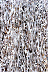 .Dead grasses at Dripping Spring, Paint Gap Hills, Big Bend National Park, Texas, USA.