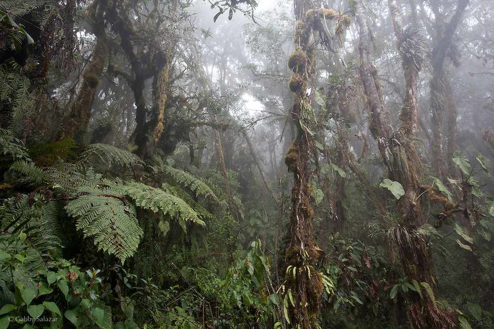 Cloud forest scene, Wayqecha Biological Reserve on the Eastern slopes of the Peruvian Andes. Cloud forest at 2950 meters elevation. The reserve is managed by the Amazon Conservation Association and the Asociación para la Conservación de la Cuenca Amazónica.