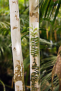 Rainforest candle vine grows on tree trunk, Daintree Rainforest, Queensland, Australia
