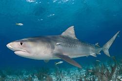 A youngTiger Shark, Galeocerdo cuvier, cruises over shallow reef at Tiger Beach,  Little Bahama Bank, Bahamas, Atlantic Ocean