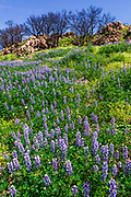 Wildflowers at Charmlee Wilderness Park in the Santa Monica Mountains, Malibu, California USA