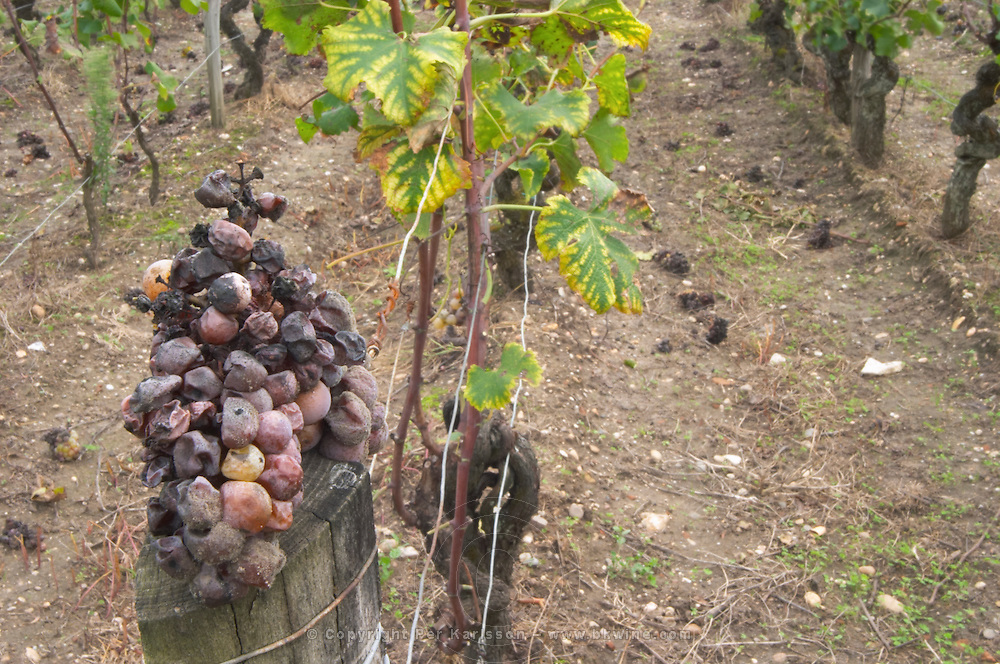 Noble rot grapes. Chateau Nairac, Barsac, Sauternes, Bordeaux, France