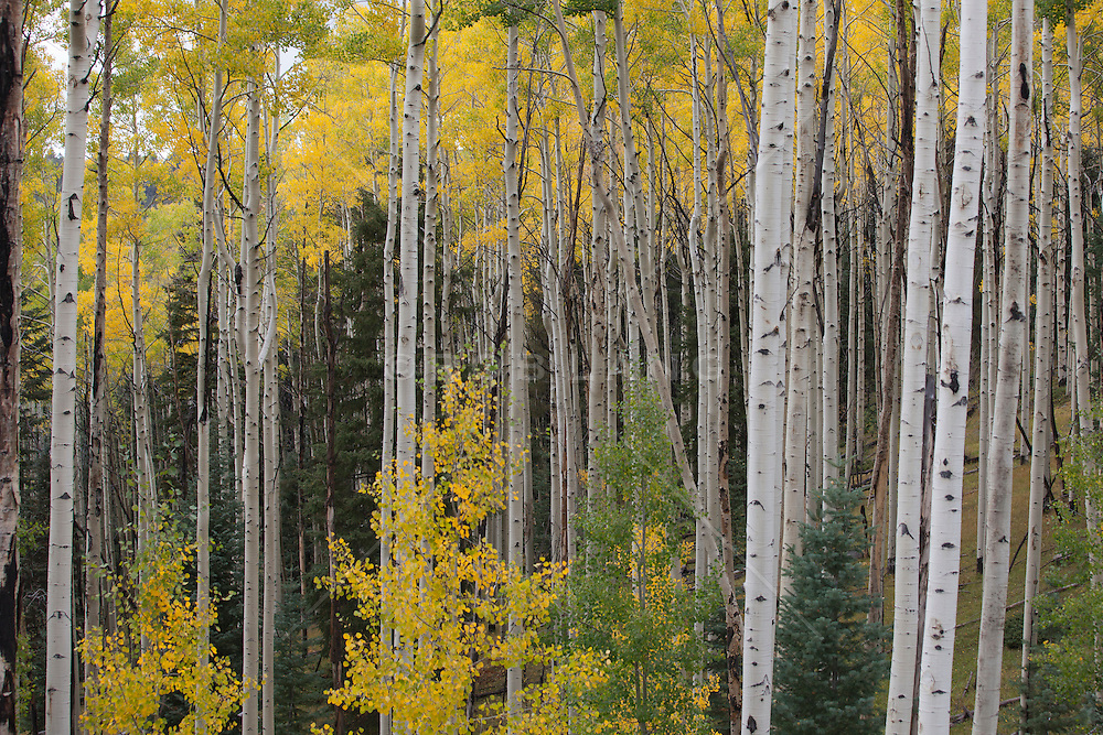 Fall colors in The Santa Fe Mountains at Aspen Vista Point
