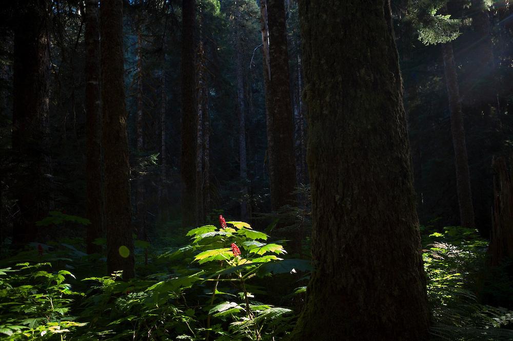 Rays of sunlight illuminate a devil's club (Oplopanax horridus) along the Nooksack Cirque Trail, Mount Baker-Snoqualmie National Forest, Washington.