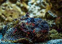 StonefishorOclap - Poisson Pierre (Synanceia verrucosa)