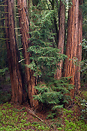 Redwood trees after a rainstorm Redwood Regional Park, East Bay Hills, California