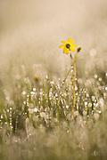 Eastern groundsel (Senecio vernalis) Photogrpahed in Israel in March