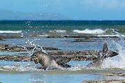 Hawaiian monk seals, Neomonachus schauinslandi (formerly Neomonachus schauinslandi ), two males fighting in tidepool off Iliopi'i Beach, Kalaupapa Peninsula, Molokai Island, Hawaii, USA ( Pacific Ocean )