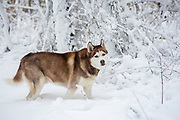 A husky walks through snow after a storm.