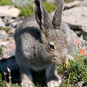 Arctic hare (Lepus arcticus), Victoria Island, Canada.