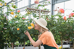Mature woman smelling rose flowers in greenhouse, Augsburg, Bavaria, Germany