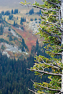A Subalpine fir (Abies lasiocarpa) with Dege Peak in the background.  Taken from Sunrise Point in Mount Rainier National Park.