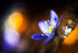 Blue Anemone (Hepatica nobilis), Norway