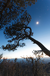 Pinyon pine tree and stars on South Rim of Chisos Mountains into Mexico, Big Bend National Park, Texas, USA.