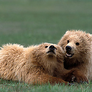 Alaskan Brown Bear, (Ursus middendorffi) Two cubs lying together. Alaskan Peninsula.