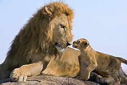 A lion father meets his cub for the first time in the Masai Mara, Kenya. <br /> <br /> BIO: Suzi Eszterhas is an award-winning wildlife photographer best known for her work documenting newborn animals and family life in the wild.  She has photographed over 100 cover and feature stories for publications such as TIME, Smithsonian, BBC Wildlife, The New York Times, Ranger Rick, and National Geographic Kids. As an author, Suzi has 21 books in print with another three in progress. <br /> <br /> Suzi is a dedicated conservationist and helps raise funds and awareness for environmental organizations around the globe. She also recently founded Girls Who Click, a non-profit dedicated to encouraging young women to enter this male-dominated profession. <br /> <br /> WEBSITE: suzieszterhas.com<br /> INSTAGRAM: @suzieszterhas