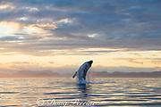 humpback whale, Megaptera novaeangliae, breaching at sunset, Kupreanof Island, Frederick Sound, Inside Passage, southeastern Alaska, USA
