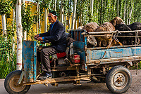 A Uyghur man driving a three wheeled vehicle with goats to the Sunday Livestock market just outside Kashgar (China's westernmost city), Xinjiang Province, China. Kashgar is along the Silk Road, near Tajikistan and Pakistan.