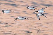 Sanderlings (Calidris alba) in flight returning to shoreline. Dorset, UK.