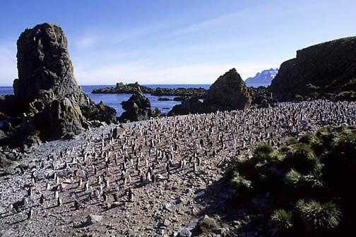 Chinstrap Penguin, (Pygoscelis antarctica) Colony at Cooper Bay, South Georgia Island.