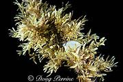 sargassum weed with juvenile jack hiding inside, Bahamas ( Western Atlantic Ocean )