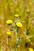 Prickly oxtongue, Helminthotheca echoes, Picris echiodes, River Deben, Sutton, Suffolk, England, UK
