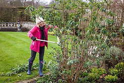 Pruning Buddleia davidii 'Black Knight' with loppers