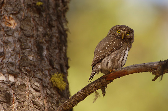 Northern Pygmy Owl (Glaucidium gnoma) Perched on branch, hunting. One of the smallest owls in North America. An aggressive predator, this owl will sometimes catch birds larger than itself, its favorite target is songbirds. Montana. Summer.