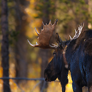 An erect collared bull moose stands as a testament for too much human intervention into the wilds of the United States created in Grand Teton National Park Wyoming.