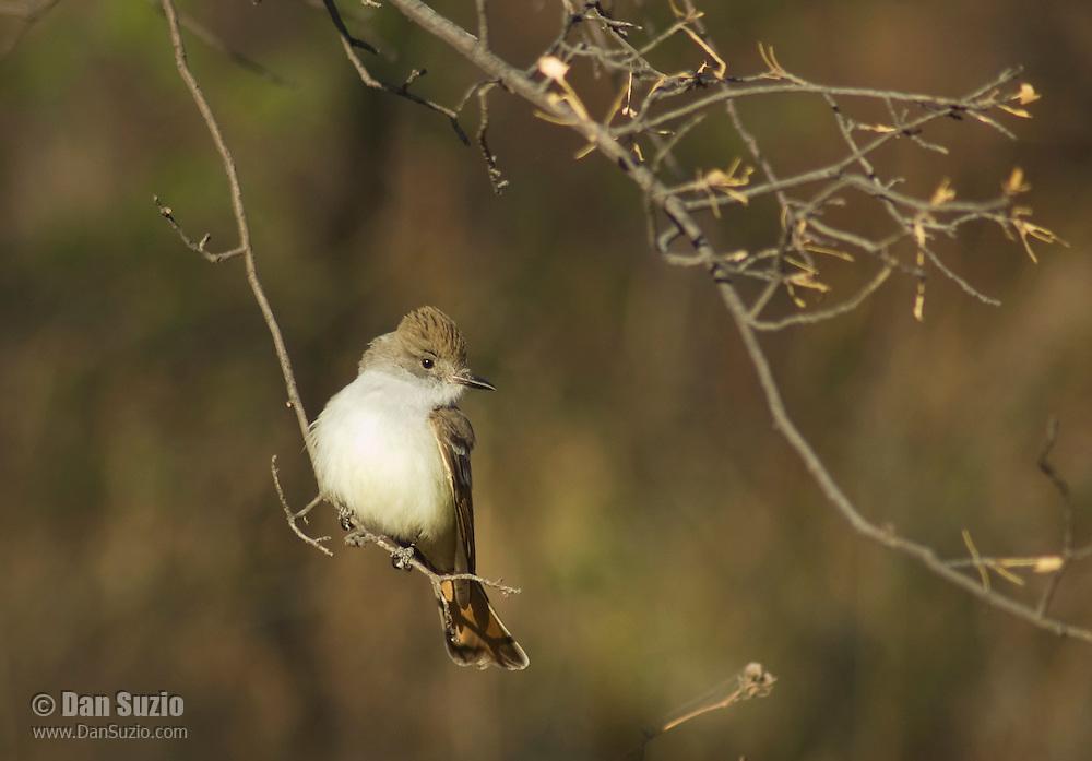 Ash-throated flycatcher, Myiarchus cinerascens. Pena Blanca Lake, Coronado National Forest, Arizona