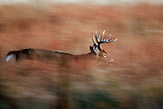 Whitetail buck running in fall habitat.