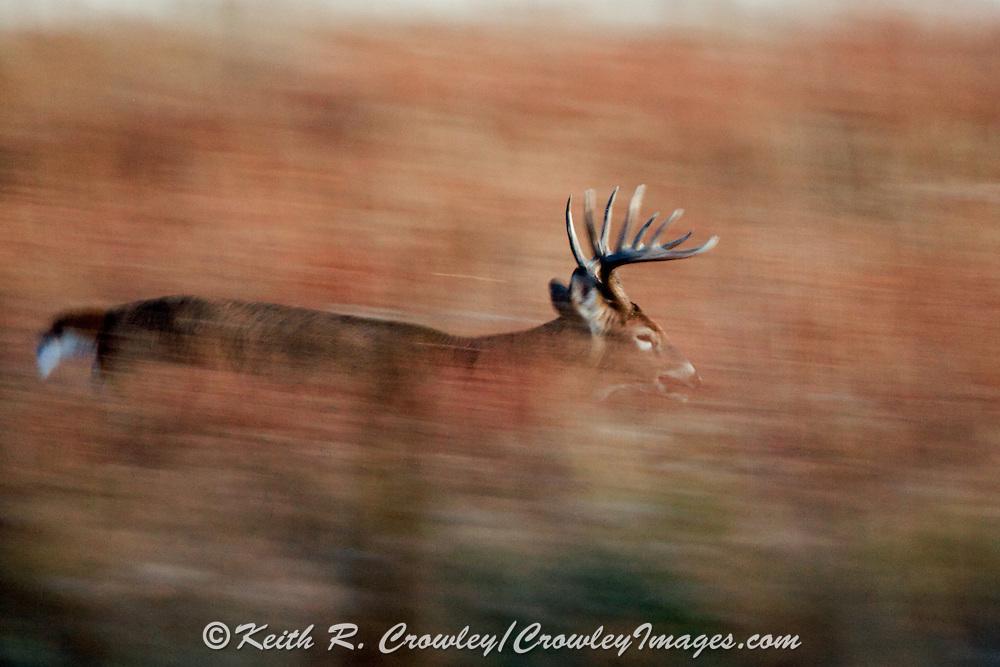 Whitetail buck running in fall habitat.