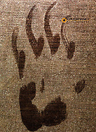 Black bear paw print on my garage door in Whitefish, Montana, USA