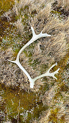 Raindeer Antlers On Shackleton Hike - Last 6 Km. From Fortuna Bay To Stomness Harbor