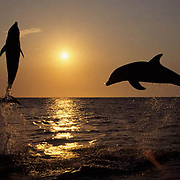 Bottlenose Dolphin, (Tursiops truncatus) Jumping at sunset in the Gulf of Mexico. Honduras. Controlled Conditons.