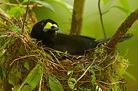 Long-tailed Paradigalla (Paradigalla carunculata) female at nest