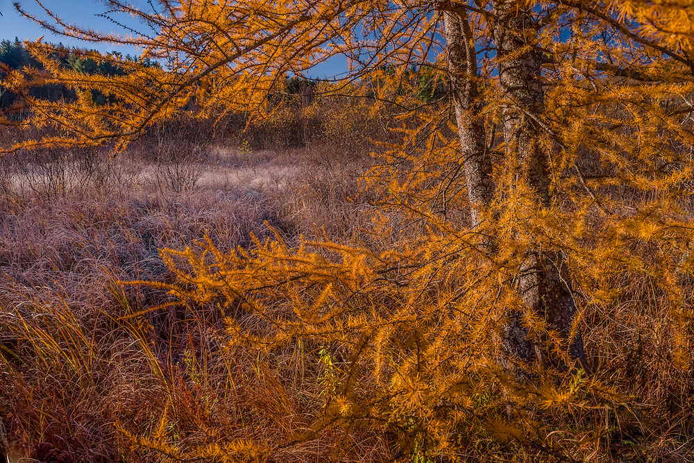 Tamarack tree in yellow & ochre fall color, and marsh grasses, Colebrook, CT