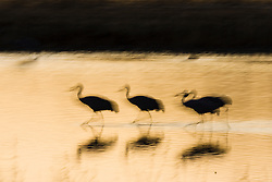 Sandhill cranes at sunset (Grus canadensis) at Bosque del Apache National Wildlife Refuge, New Mexico, USA