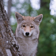 Coyote looking at observer from behind a tree, [captive, controlled conditions](Stock agencies have a stolen copy of this image for sale with my name and copyright stripped off. Please buy from me, the photographer, owner and copyright holder.) © David A. Ponton