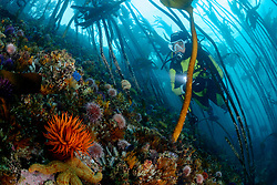 Actinia equina, Pferdeaktinie mit Taucher im Kelpwald und Seeigel, Kelp with beadlet anemone and scuba diver and sea urchin, False Bay, Simons Town, Suedafrika, Indischer Ocean, False bay, Simons Town, South Africa, Indian Ocean, MR Yes