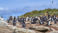 Southern Rockhopper Penguin (Eudyptes chrysocome), Imperial Cormorant (Phalacrocorax atriceps), Brown Skua (Stercorarius antarcticus). Image taken with a Leica T camera and 18-56 mm lens.
