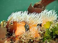 Metridium Senile Anemone