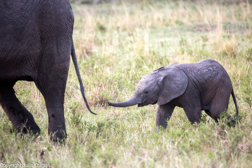 A young elephant calf reached for its mother's tail in Kenya's Masai Mara National Park.