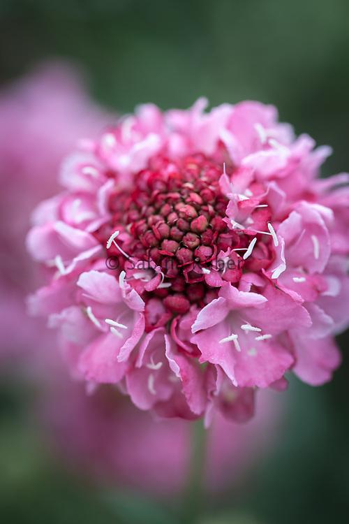 Scabiosa atropurpurea 'Salmon Queen' - pincushion flower
