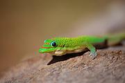 Giant Madagascan day gecko (Phelsuma madagascariensis grandis).