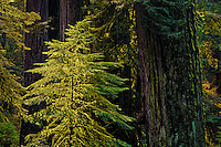 A young Coast Redwood (Sequoia sempervirens) is highlighted by light filtering into the forest near the northern California coast